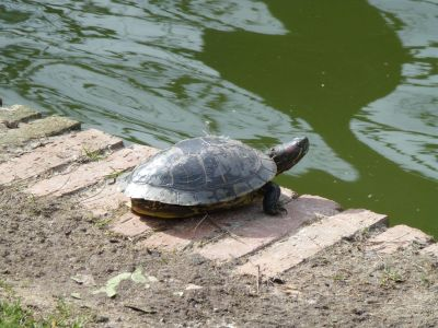 A turtle in the park
