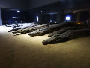 Mummified crocodiles