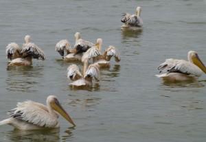 Pelicans chilling