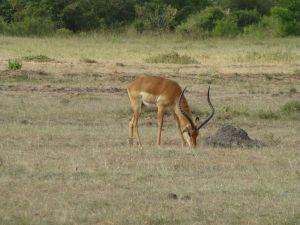 Grand gazelle