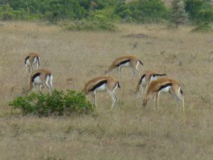 Thompson's gazelles