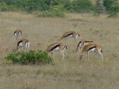 Thompson's gazelles