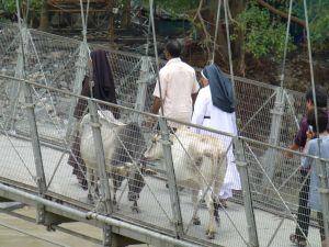 Cows on the bridge