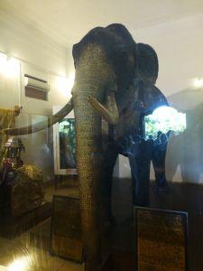 Rajah the Tusker