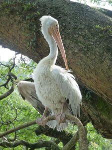 A massive pelican