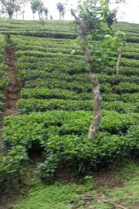 Tea bushes seen from the train