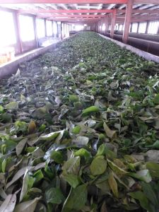 Tea leaves being dried