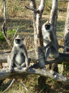 Langour monkeys
