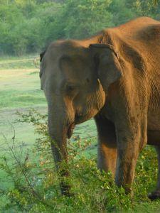 Smaller than an African elephant
